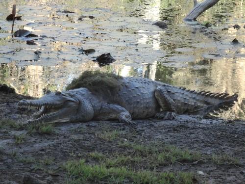 krokodil jagen nach essen